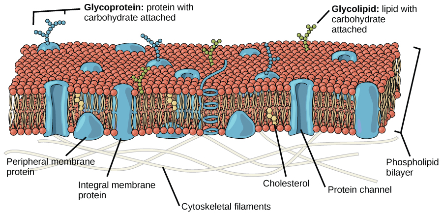 This illustration shows that the inside and outside of a plasma membrane are different, with the exterior covered in the spherical heads, and the interior filled with the strandlike tails.