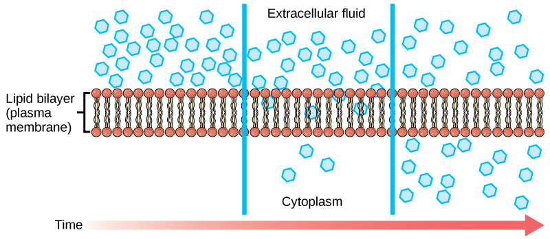 The left part of this illustration shows a substance on one side of a membrane only, in the extracellular fluid. The middle part shows that, after some time, some of the substance has diffused across the plasma membrane, from the extracellular fluid and into the cytoplasm. The right part shows that, after more time, an equal amount of the substance is on each side of the membrane.
