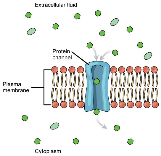 This illustration shows a small substance passing through the pore of a protein channel that is embedded in the plasma membrane.