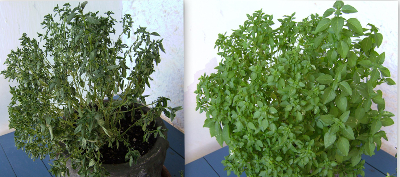 The left photo shows a plant that has wilted, with dark green leaves that are shriveled, and appear dry.  The photo on the right shows a healthy plant, with broad light green leaves that appear soft and pliable.