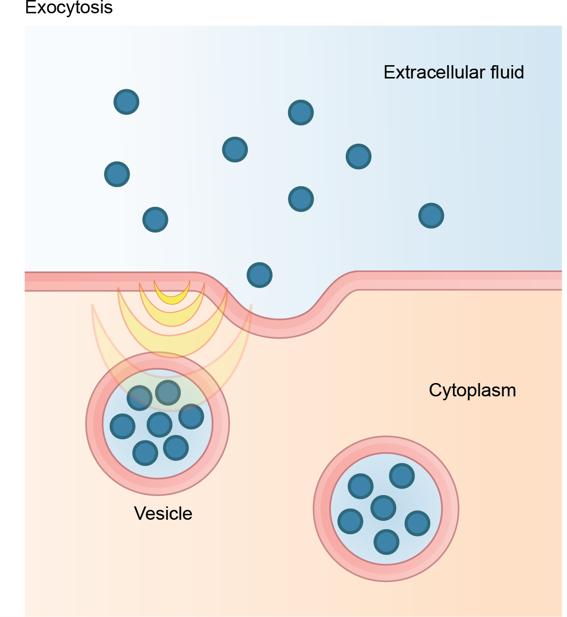 This illustration shows vesicles fusing with the plasma membrane and releasing their contents to the extracellular fluid.