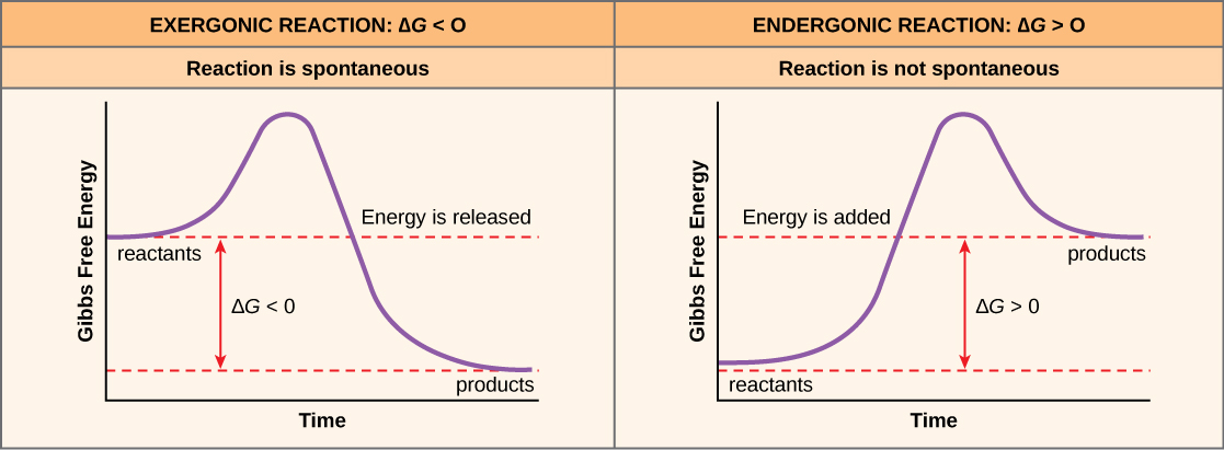 The two plots show the change in Gibbs free energy as reactants are converted to products. Gibbs free energy decreases with time for an exergonic reaction (left), and the reaction is spontaneous. Gibbs free energy increases with time for an endergonic reaction (right), and the reaction is not spontaneous.