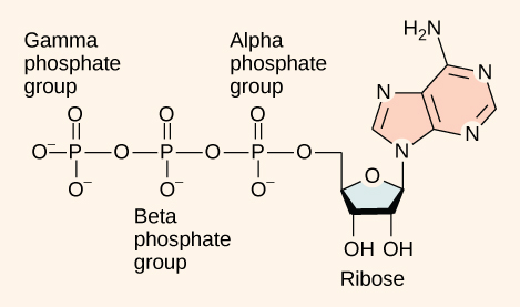 The molecular structure of adenosine triphosphate is shown. Three phosphate groups, called alpha, beta, and gamma, are attached to a ribose sugar. Adenine is also attached to the ribose.