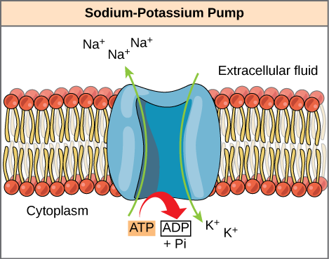 This illustration shows the sodium-potassium pump embedded in the cell membrane. A T P hydrolysis catalyzes a conformational change in the pump that allows sodium ions to move from the cytoplasmic side to the extracellular side of the membrane, and potassium ions to move from the extracellular side to the cytoplasmic side of the membrane as well.