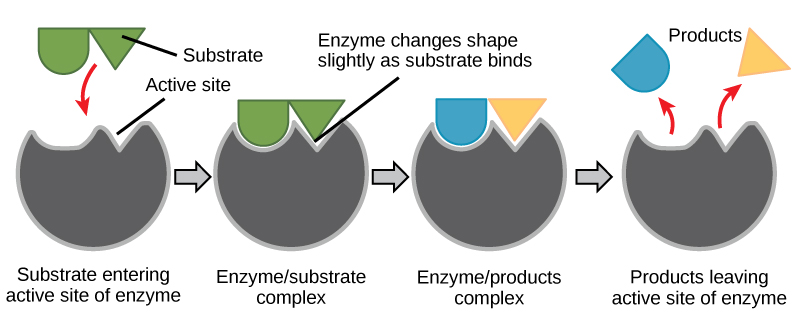 In this diagram, a substrate binds the active site of an enzyme and, in the process, both the shape of the enzyme and the shape of the substrate change. The substrate is converted to products that then leave the enzymes active site.