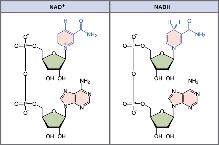 This illustration shows the molecular structure of N A D superscript plus sign baseline and N A D H. Both compounds are composed of an adenine nucleotide and a nicotinamide nucleotide, which bond together to form a dinucleotide. The nicotinamide nucleotide is at the 5 prime end, and the adenine nucleotide is at the 3 prime end. Nicotinamide is a nitrogenous base, meaning it has nitrogen in a six-membered carbon ring. In N A D H, one extra hydrogen is associated with this ring, which is not found in N A D superscript plus sign baseline.
