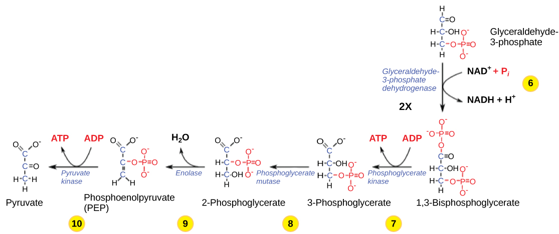 This illustration shows the steps in the second half of glycolysis. In step six, the enzyme glyceraldehydes dash 3 dash phosphate dehydrogenase produces one N A D H molecule and forms 1 3 dash bisphosphoglycerate. In step seven, the enzyme phosphoglycerate kinase removes a phosphate group from the substrate, forming one A T P molecule and 3 dash phosphoglycerate. In step eight, the enzyme phosphoglycerate mutase rearranges the substrate to form 2 dash phosphoglycerate. In step nine, the enzyme enolase rearranges the substrate to form phosphoenolpyruvate. In step ten, a phosphate group is removed from the substrate, forming one A T P molecule and pyruvate.