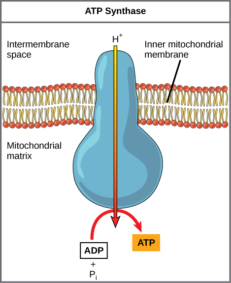 This illustration shows an A T P synthase enzyme embedded in the inner mitochondrial membrane. A T P synthase allows protons to move from an area of high concentration in the intermembrane space to an area of low concentration in the mitochondrial matrix. The energy derived from this exergonic process is used to synthesize A T P from A D P and inorganic phosphate.