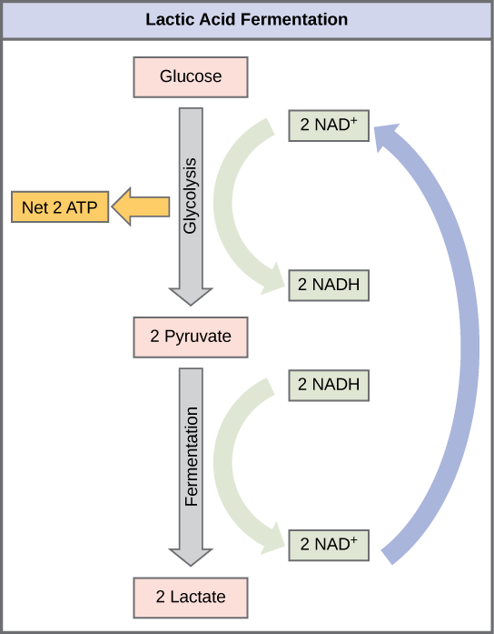 This illustration shows that during glycolysis, glucose is broken down into two pyruvate molecules and, in the process, two N A D H are formed from N A D superscript plus sign baseline. During lactic acid fermentation, the two pyruvate molecules are converted into lactate, and N A D H is recycled back into N A D superscript plus sign baseline.