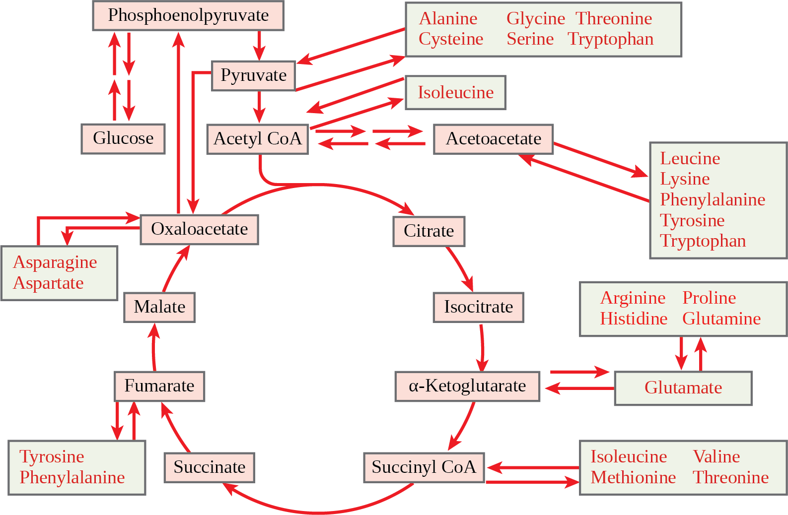 This illustration shows that the amino acids alanine, glycine, threonine, cysteine, and serine can be converted into pyruvate. Leucine, lysine, phenylalanine, tyrosine, tryptophan, and isoleucine can be converted into acetyl upper case C lower case o upper case A. Arginine, proline, histidine, glutamine, and glutamate can be converted into alpha-ketoglutarate. Isoleucine, valine, methionine, and threonine can be converted into succinyl upper C lower o upper A. Tyrosine and phenylalanine can be converted into fumarate, and aspartate and asparagine can be converted into oxaloacetate.