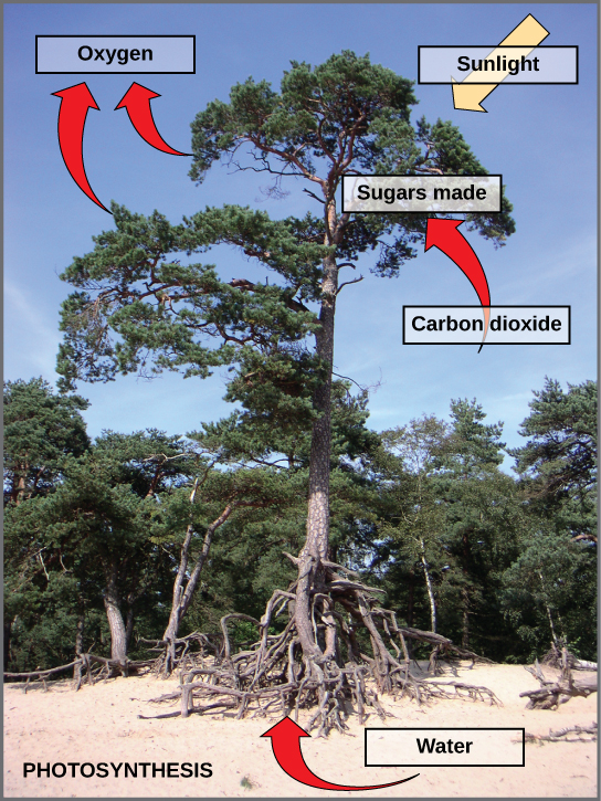 Photo of a tree with labels shows photosynthesis. Arrows indicate that the tree uses carbon dioxide, water, and sunlight to make sugars and oxygen.  Water is absorbed through the tree's roots; sunlight is absorbed through the tree's leaves; the tree also absorbs carbon dioxide, and releases oxygen.