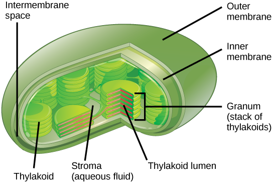 This illustration shows a chloroplast, which has an outer membrane and an inner membrane. The space between the outer and inner membranes is called the intermembrane space. Inside the inner membrane are flat, pancake-like structures called thylakoids. The thylakoids form stacks called grana. The liquid inside the inner membrane is called the stroma, and the space inside the thylakoid is called the thylakoid lumen.