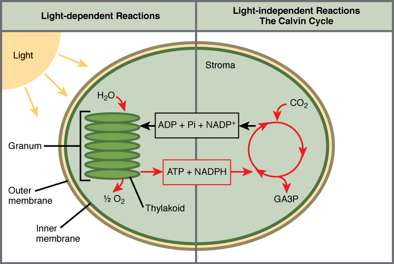 This illustration shows a chloroplast with an outer membrane, an inner membrane, and stacks of membranes inside the inner membrane called thylakoids. The entire stack is called a granum. In the light reactions, energy from sunlight is converted into chemical energy in the form of A T P and N A D P H. In the process, water is used and oxygen is produced. Energy from A T P and N A D P H are used to power the Calvin cycle, which produces G A 3 P from carbon dioxide. A T P is broken down to A D P and Pi, and N A D P H is oxidized to N A D P superscript plus sign baseline. The cycle is completed when the light reactions convert these molecules back into A T P and N A D P H.