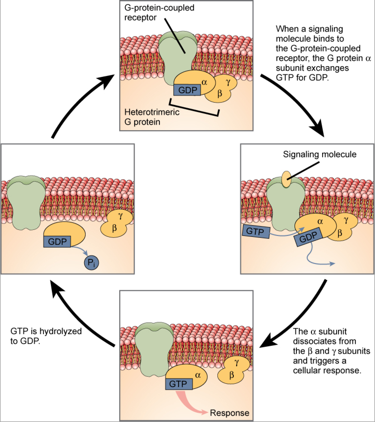 This illustration shows the activation pathway for a heterotrimeric G protein, which has three subunits: alpha beta, and gamma, all associated with the inside of the plasma membrane. When a signaling molecule binds to a G protein-coupled receptor in the plasma membrane, a G D P molecule associated with the alpha subunit is exchanged for G T P. The alpha subunit dissociates from the beta and gamma subunits and triggers a cellular response. Hydrolysis of G T P to G D P terminates the signal.