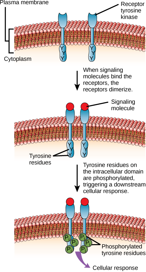 This illustration shows two receptor tyrosine kinase monomers embedded in the plasma membrane. Upon binding of a signaling molecule to the extracellular domain, the receptors dimerize. Tyrosine residues on the intracellular surface are then phosphorylated, triggering a cellular response.
