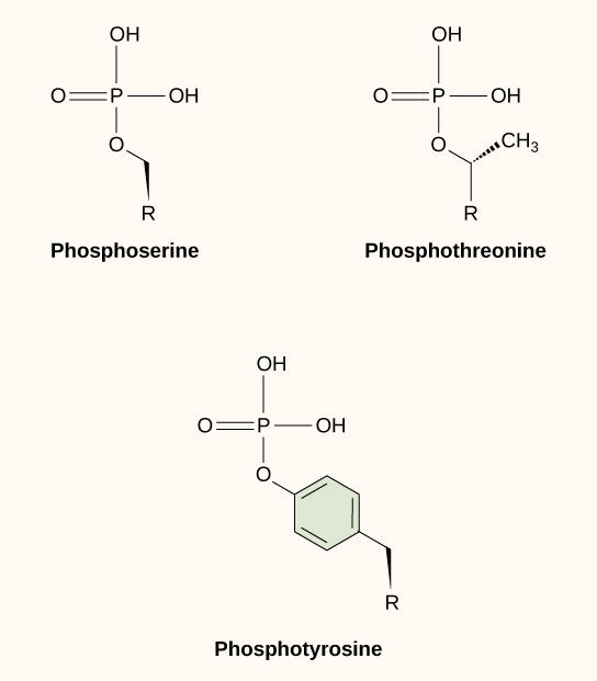 Molecular structures of phosphoserine, phosphothreonine and phosphotyrosine are shown. In each molecule, a phosphate is attached to an oxygen on the amino acid.