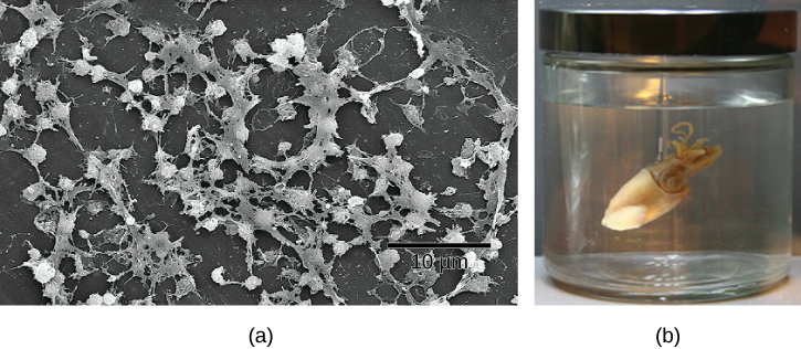 Part a: This electron micrograph shows a film of bacteria. Part b: This photo shows a Hawaiian bobtail squid.