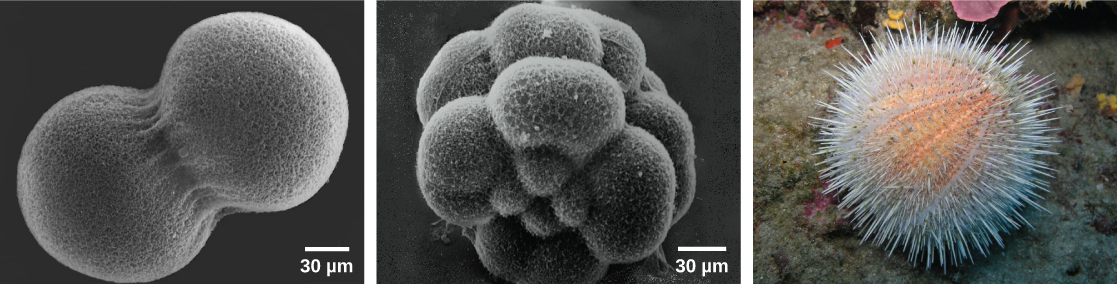 Image A shows two conjoined cells forming a dumbbell shape; the fertilization envelope has been removed so that the mesh-like outer layer can be seen. Image B shows the sea urchin embryo when it has divided into 16 conjoined cells; the overall shape is rounder than in image A. Image C shows a water melon sea urchin which appears as a peach-colored ball covered in white protruding spines.