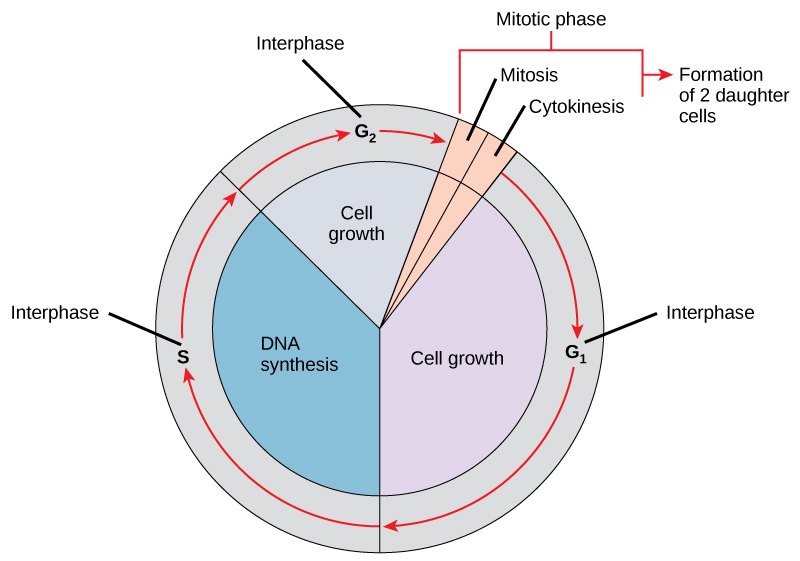 Like a clock, the cell cycles from interphase to the mitotic phase and back to interphase. Most of the cell cycle is spent in interphase, which is subdivided into G subscript 1 baseline, S, and G subscript 2 baseline phases. Cell growth occurs during G subscript 1 baseline, D N A synthesis occurs during S, and more growth occurs during G subscript 2 baseline. The mitotic phase consists of mitosis, in which the nuclear chromatin is divided, and cytokinesis, in which the cytoplasm is divided, resulting in two daughter cells.