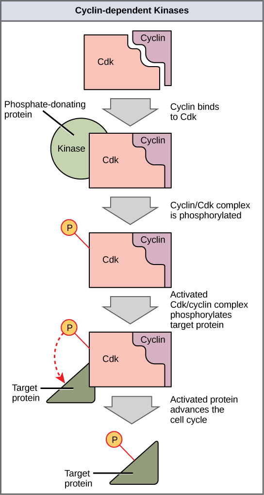 This illustration shows a cyclin protein binding to a upper case C lower case d lower case k. The cyclin slash upper C lower d lower k complex is activated when a kinase phosphorylates it. The cyclin slash upper C lower d lower k complex, in turn, phosphorylates other proteins, thus advancing the cell cycle.