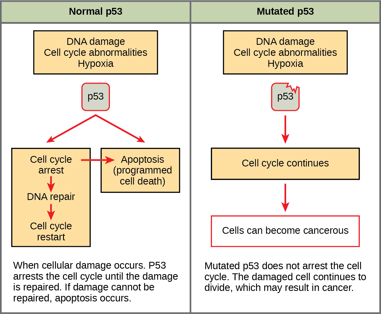Part a: This illustration shows cell cycle regulation by normal lower case p 5 3, which arrests the cell cycle in response to D N A damage, cell cycle abnormalities, or hypoxia. Once the damage is repaired, the cell cycle restarts. If the damage cannot be repaired, apoptosis meaning programmed cell death, occurs. Part b: Mutated p 5 3 does not arrest the cell cycle in response to cellular damage. As a result, the cell cycle continues, and the cell may become cancerous.