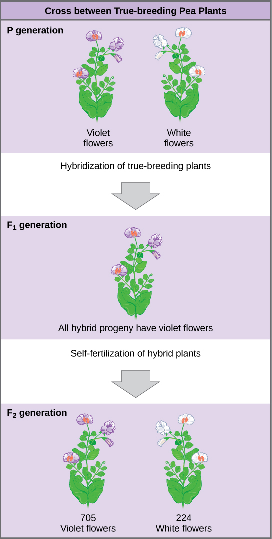The diagram shows a cross between pea plants that are true-breeding for purple flower color and plants true-breeding for white flower color. This cross-fertilization of the upper P generation resulted in an upper case F subscript 1 baseline generation with all violet flowers. Self-fertilization of the upper F subscript one baseline generation resulted in an upper F subscript 2 baseline generation that consisted of 705 plants with violet flowers, and 224 plants with white flowers.