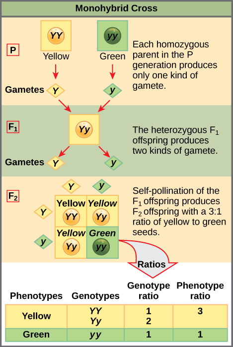 This illustration shows a monohybrid cross. In the upper P generation, one parent has a dominant yellow phenotype and the genotype upper Y upper Y, and the other parent has the recessive green phenotype and the genotype lower y lower y. Each parent produces one kind of gamete, resulting in an upper F subscript 1 baseline generation with a dominant yellow phenotype and the genotype upper Y lower y. Self-pollination of the upper F subscript 1 baseline generation results in an upper F subscript 2 baseline generation with a 3 to 1 ratio of yellow to green peas. One out of three of the yellow pea plants has a dominant genotype of upper Y upper Y, and 2 out of 3 have the heterozygous phenotype upper Y lower y. The homozygous recessive plant has the green phenotype and the genotype lower y lower y.