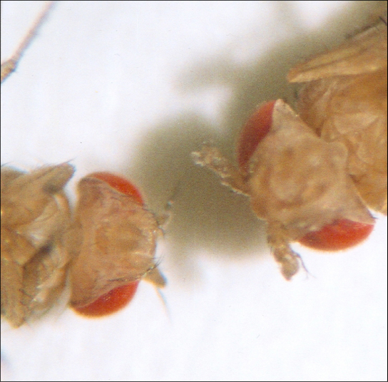 This photo shows Drosophila that has normal antennae on its head, and a mutant that has legs on its head.