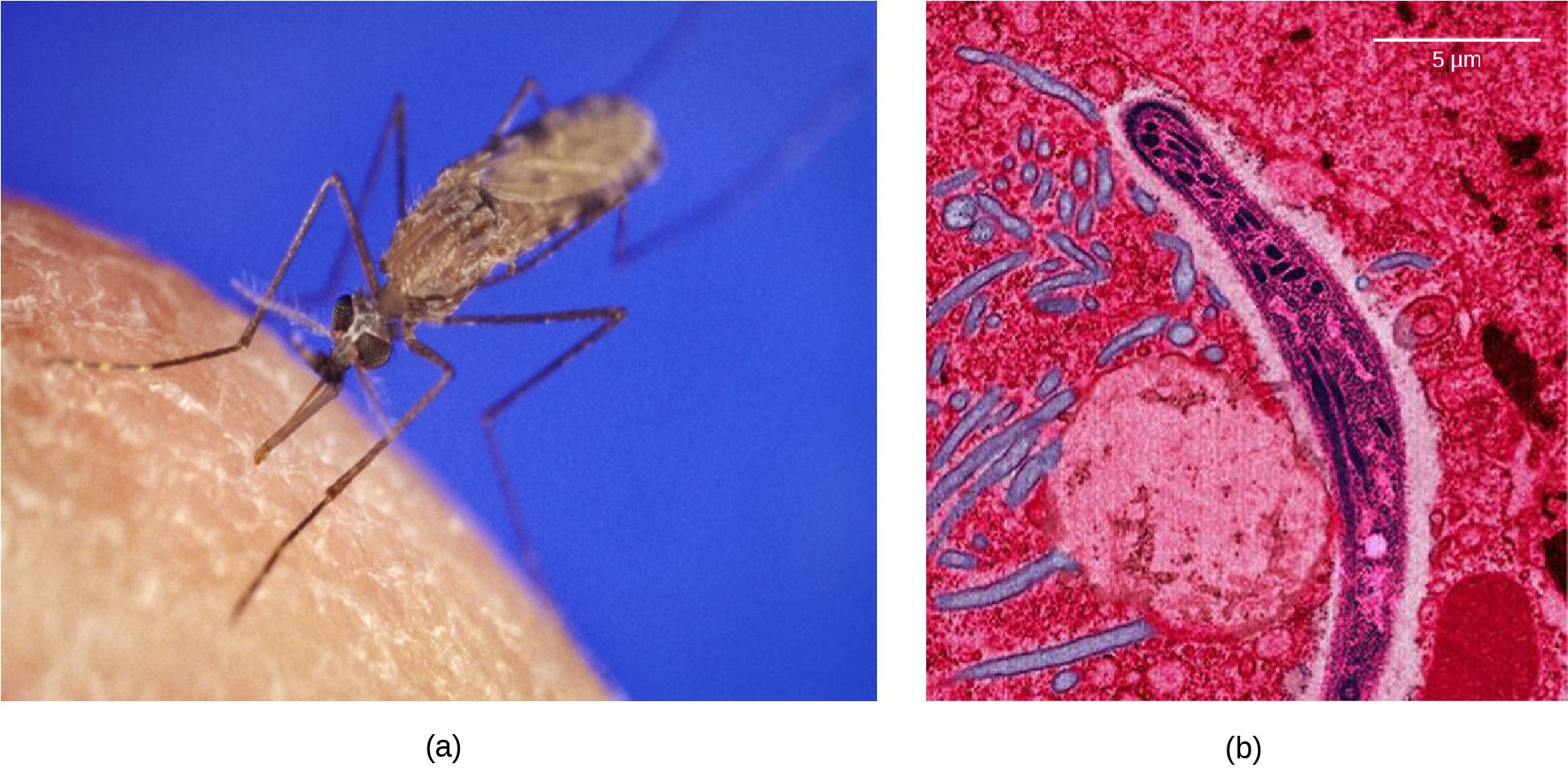 Photo a shows the Anopheles gambiae mosquito, which carries malaria.