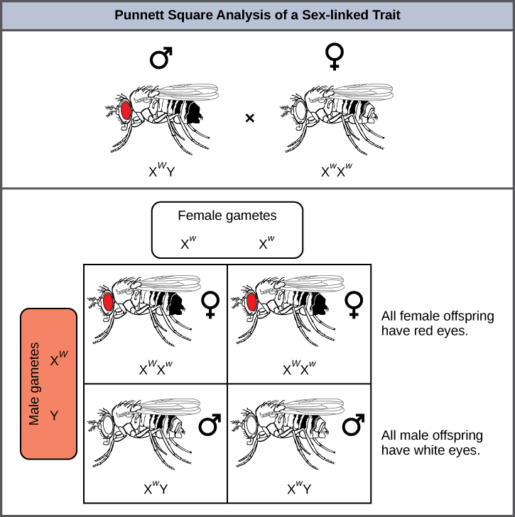 This illustration shows a Punnett square analysis of fruit fly eye color, which is a sex-linked trait. A red-eyed male fruit fly with the genotype X superscript w baseline, Y, is crossed with a white-eyed female fruit fly with the genotype X superscript w, X superscript w baseline. All of the female offspring acquire a dominant upper case W allele from the father and a recessive lower case w allele from the mother, and are therefore heterozygous dominant with red eye color. All of the male offspring acquire a recessive w allele from the mother and a Y chromosome from the father and are therefore hemizygous recessive with white eye color.