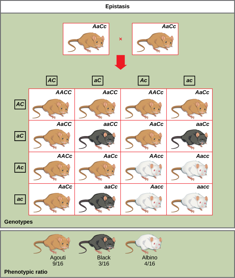 A cross between two agouti mice with the heterozygous genotype upper A lower a upper C lower c is shown. Each mouse produces four different kinds of gametes, which are upper A upper C, and lower a upper C, and upper A lower c, and lower a lower c. A 4 by 4 Punnett square is used to determine the genotypic ratio of the offspring. The phenotypic ratio is 9 slash 16 agouti, 3 slash 16 black, and 4 slash 16 white.