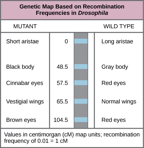 The illustration shows a Drosophila genetic map. The gene for aristae length occurs at 0 centimorgans, or lower case c upper case M. The gene for body color occurs at 48.5 lower c upper M. The gene for red versus cinnabar eye color occurs at 57.5 lower c upper M. The gene for wing length occurs at 65.5 lower c upper M, and the gene for red versus brown eye color occurs at 104.5 lower c upper M. One lower c upper M is equivalent to a recombination frequency of 0.01.