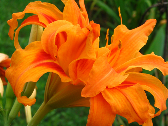 Photo shows an orange day lily, which is a plant with a large flower; the flower looks like it is bursting with orange petals.