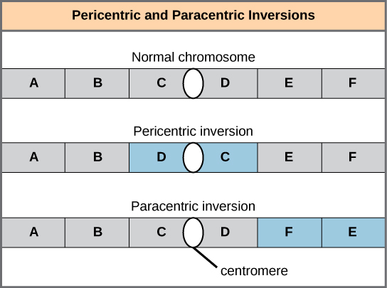 Illustration shows pericentric and paracentric inversions. In this example, the order of genes in the normal chromosome is A B C D E F, with the centromere between genes C and D. In the pericentric inversion the order is A B D C E F. In the paracentric inversion example, the resulting gene order is A B C D F E.