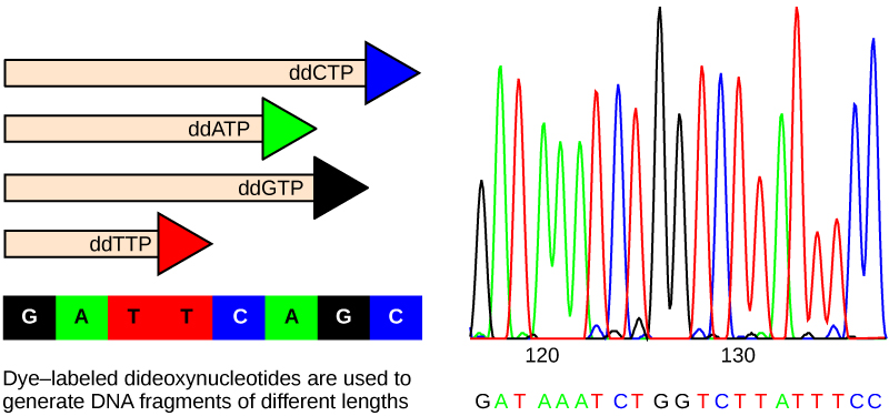 Part A shows a template D N A strand and newly synthesized strands that were generated in the presence of dideoxynucleotides that terminate the chain at different points to generate fragments of different sizes. Each dideoxynucleotide is labeled a different color. Part B shows a sequence readout that was generated after the D N A fragments were separated on the basis of size. The color of the fragment indicates the identity of the nucleotide at the end of a given fragment. By reading the colors in order, the D N A sequence can be determined.
