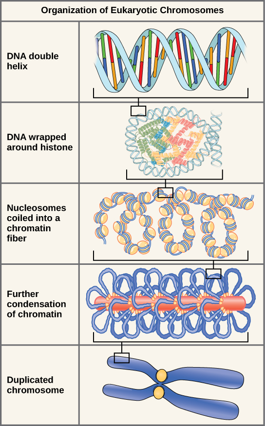 Illustration shows the levels of organization of eukaryotic chromosomes, starting with the D N A double helix, which wraps around histone proteins. The entire D N A molecule wraps around many clusters of histone proteins, forming a structure that looks like beads on a string, which are nucleosomes coiled into a chromatin fiber. The chromatin is further condensed by wrapping around a protein core. The result is a compact chromosome, shown in duplicated form, which is the shape of an x.