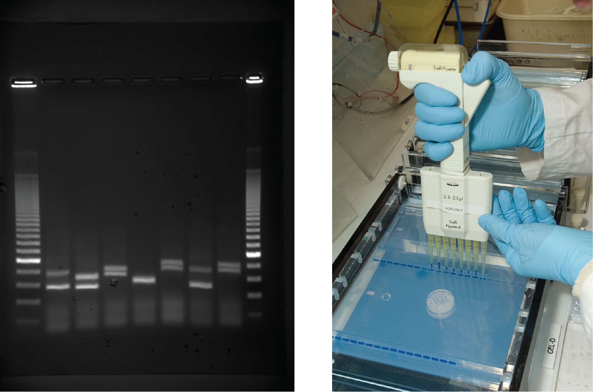 Image shows a person using a handheld device with eight pipettes holding DNA material. The person places the device's pipettes directly over a prepared gel inside an electrphoresis machine. The gel already contains several lines of material where the user has previouly loaded DNA material.