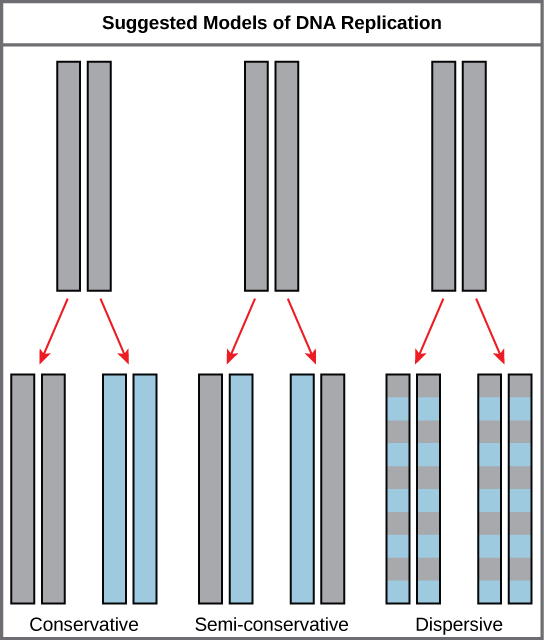 Illustration shows the conservative, semi-conservative, and dispersive models of D N A synthesis. In the conservative model, the D N A is replicated and both newly synthesized strands are paired together. In the semi-conservative model, each newly synthesized strand pairs with a parent strand. In the dispersive model, newly synthesized D N A is interspersed with parent D N A within both D N A strands.
