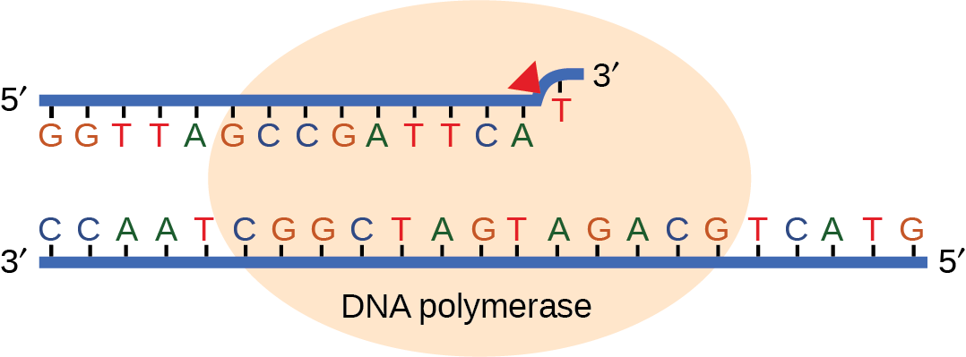 Illustration shows D N A polymerase replicating a strand of D N A. The enzyme has accidentally inserted G opposite A, resulting in a bulge. The enzyme backs up to fix the error.