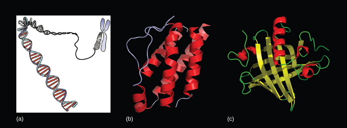 Molecular models show a DNA double helix that is packed in a chromosome in Part a, and two proteins are shown in Parts b and c.
