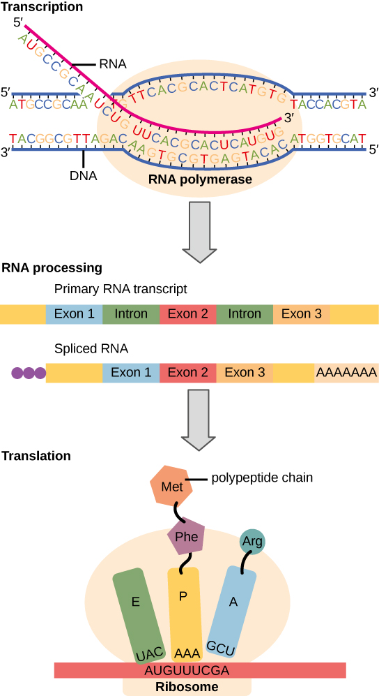 To make a protein, genetic information encoded by the D N A must be transcribed onto an m R N A  molecule. The R N A is then processed by splicing to remove exons and by the addition of a 5 prime cap and a poly A tail. A ribosome then reads the sequence on the m R N A, and uses this information to string amino acids into a protein.