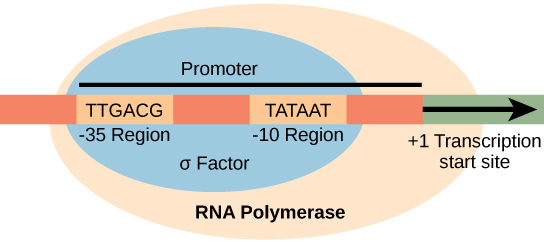 Illustration shows the sigma subunit of R N A polymerase bound to two consensus sequences that are 10 and 35 bases upstream of the transcription start site. R N A polymerase is bound to sigma..