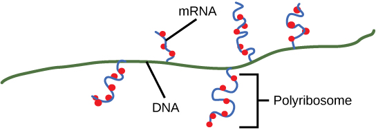 Illustration shows multiple m R N As transcribed off one gene. Ribosomes attach to the m R N A before transcription is complete and begin to make protein.