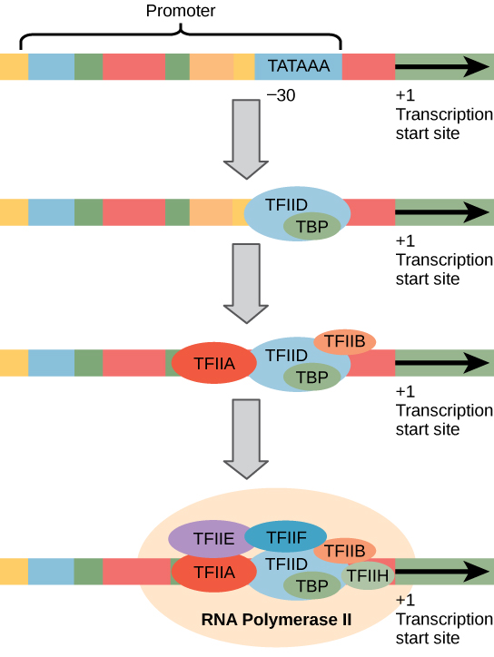 Illustration shows a series of transcription factors binding to the promoter, which is upstream of the gene. After all of the transcription factors are bound, R N A polymerase I I binds as well.