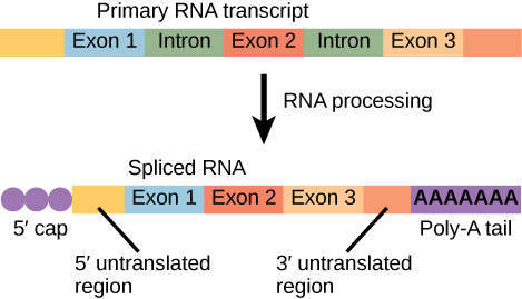 An illustration shows that before R N A processing, there is a primary R N A transcript including five boxes labeled, left to right, as exon 1, intron, exon 2, intron, and exon 3. After R N A processing, there is a spliced R N A with these parts, left to right are  a 5 prime cap, a 5 prime untranslated region, exon 1, exon 2, exon 3, a 3 prime untranslated region, and a poly a tail.