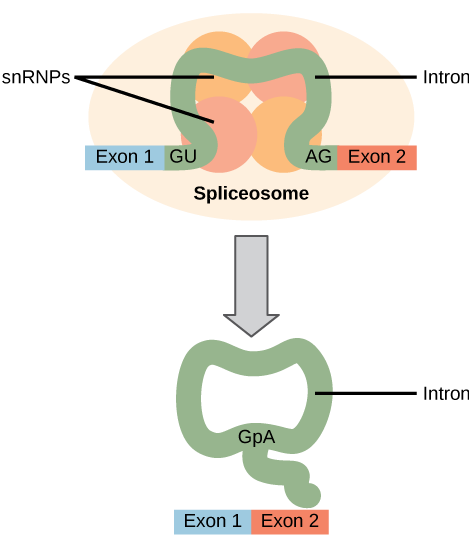 Illustration shows a spliceosome bound to m R N A. An intron is wrapped around s n R N Ps associated with the spliceosome. When the splice is complete, the exons on either side of the intron are fused together, and the intron forms a ring structure.