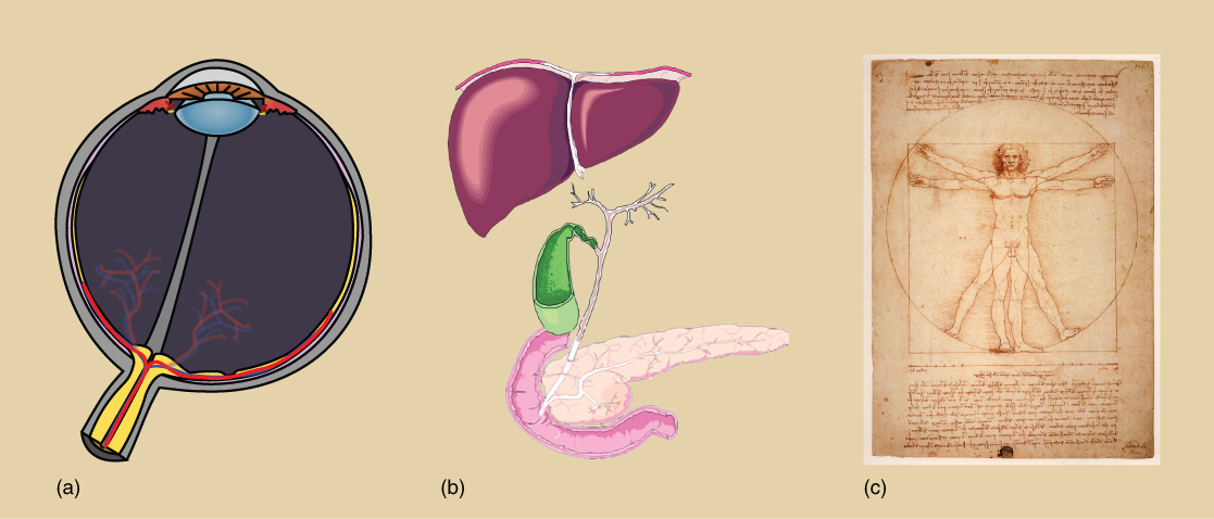 Part A depicts a cross section of an eyeball, which has a lens at the front and a cluster of blood vessels at the back. Part B depicts a liver, which is shaped like a triangle. Beneath the liver is a lobe-shaped gall bladder connected to a pancreas by a stem-like vessel. Part C is a sketch, drawn by Leonardo Da Vinci, of a man standing erect with outstretched arms. Superimposed on this image, the man has his legs spread and his arms uplifted.