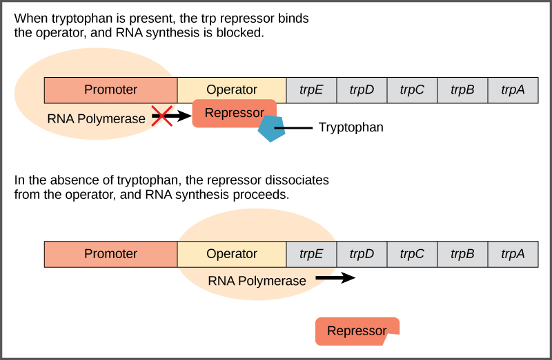 The t r p operon has a promoter, an operator, and five genes named t r p upper case E; t r p upper case D, t r p upper case C, t r p  upper case B, and t r p upper case A that are located in sequential order on the D N A. R N A polymerase binds to the promoter. When tryptophan is present, the t r p repressor binds the operator and prevents the R N A polymerase from moving past the operator; therefore, R N A synthesis is blocked. In the absence of tryptophan, the repressor dissociates from the operator. R N A polymerase can now slide past the operator, and transcription begins.