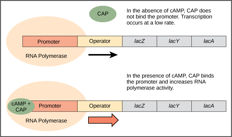 The lac operon consists of a promoter, an operator, and three genes named lac Z, lac Y, and lac A that are located in sequential order on the D N A. In the absence of c A M P, the CAP protein does not bind the D N A. R N A polymerase binds the promoter, and transcription occurs at a slow rate. In the presence of c A M P, a CAP, c A M P complex binds to the promoter and increases R N A polymerase activity. As a result, the rate of R N A synthesis is increased.
