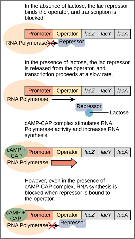 The lac operon consists of a promoter, an operator, and three genes named lac Z, lac Y, and lac A. R N A polymerase binds to the promoter. In the absence of lactose, the lac repressor binds to the operator and prevents RNA polymerase from transcribing the operon. In the presence of lactose, the repressor is released from the operator, and transcription proceeds at a slow rate. Binding of the c A M P plus sign CAP complex to the promoter stimulates R N A polymerase activity and increases R N A  synthesis. However, even in the presence of the c A M P plus sign CAP complex, R N A synthesis is blocked if the repressor binds to the promoter.